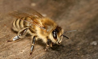 Європейська бджола