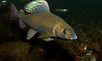 Харіус європейський: риба з неповторним виглядом