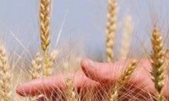 Фаза формування, наливу і дозрівання зерна