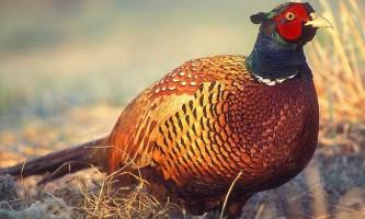 Фазан: фото і опис птиці