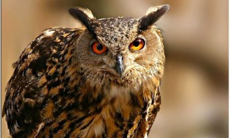 Філін - обережний птах. Фото, опис