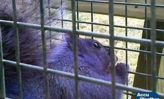 «Фіолетова білка»