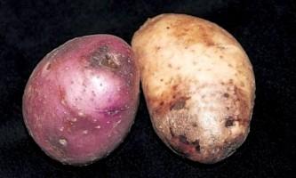 Фітофтора на картоплі: як боротися?