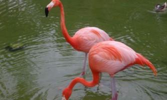 Фламінго - священний птах єгиптян, що стоїть на одній нозі
