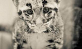 Флоридський димчастий леопард «надав» нові фото своїх дитинчат