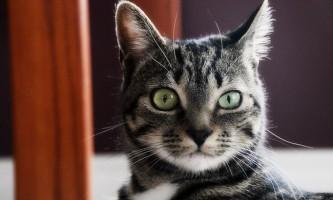 Фоспренил для кішок: інструкція із застосування