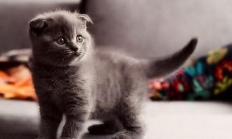 Фото і опис шотландських висловухих котів