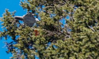 Фотограф з челябінська, зробив унікальні фотографії білки-летяги
