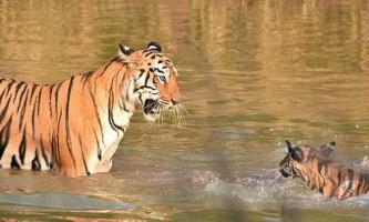 Фотограф зняв купання тигреня мамою-тигрицею