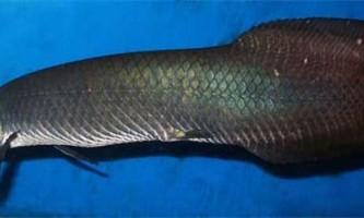 Фотографії в вікіпедії допомогли вченому відкрити новий вид прісноводних риб
