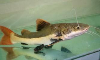 Фракоцефалус - сом для великого акваріума