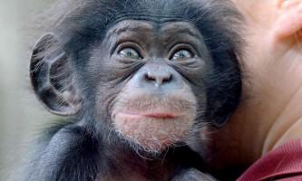 Французький офіцер навчив шимпанзе готувати їжу