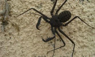 Фріни - павуки з «антенами»