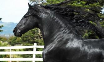 Фризька кінь