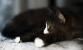 Фунгин для кішок: ліки від позбавляючи