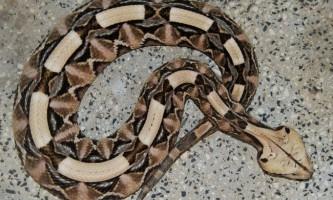 Габонская гадюка - строката змія-вбивця