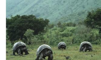 Галапагоських слонова черепаха