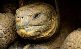 Галапагоським черепахам більше не загрожує вимирання