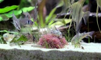 Де добути трубочника і як їм годувати рибок