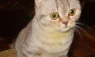 Де купити шотландського висловухого кошеня