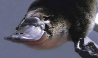 Де живе качконіс, і що це за звір?
