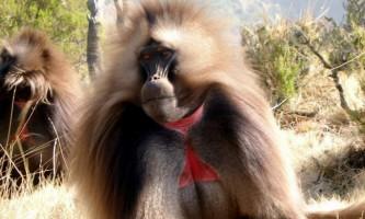 Гелада - мавпа в червоній «майці»