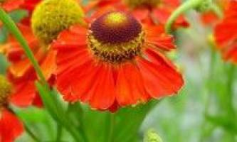 Геленіум квітка
