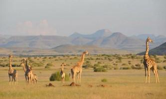 Генетичний аналіз виявив цілих чотири нових види жирафів замість одного