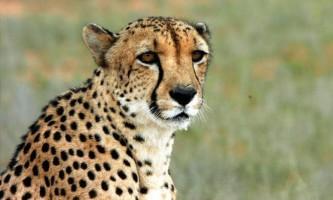 Геном гепардів показав, що вони 100 тисяч років тому мігрували до африки з північної америки