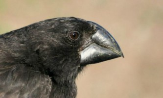 Геноми дарвинових в`юрків розповіли про адаптацію і еволюції птахів