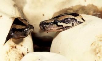 Гени пітон і кобри розповіли про еволюцію змій
