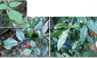 Рослина-хамелеон маскується для захисту від травоїдних