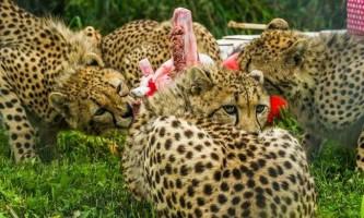 Гепарди зоопарку сан-дієго відсвяткували день народження.