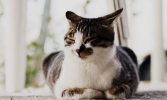 Гепатовет для кішок: інструкція із застосування