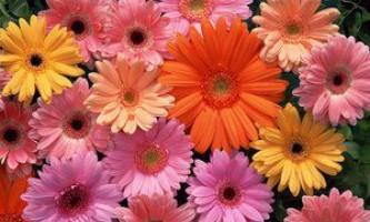 Гербера садові: посадка і догляд