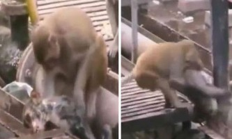 Героїчна мавпочка 20 хвилин реанімувала одного