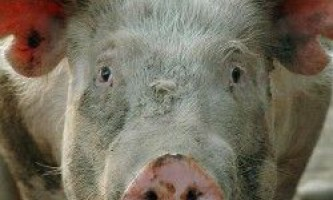 Гетерозис в свинарстві