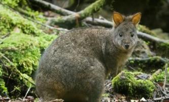 Гібридний кенгуру: чи можливий кенгуру з пробірки?
