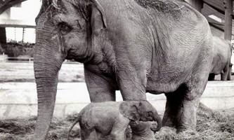 Гібридний слон і його 12-денна життя