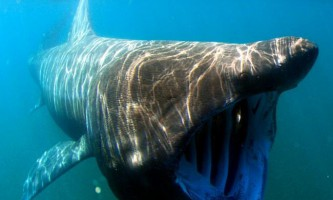 Гігантська акула. Фото, цікаві факти