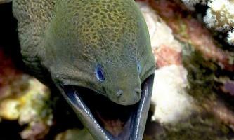 Гігантська мурена, або яванський гімноторакс