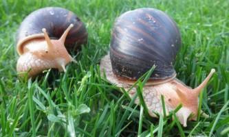 Гігантська равлик ахатина (лат. Achatina fulica)