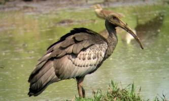Гігантські ібіси - птиці, які можуть зникнути