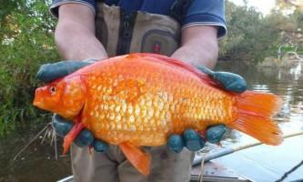 Гігантські золоті рибки