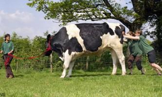 Гігантський бик на прізвисько чилі (chilli)