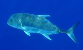 Гігантський каранкса - підводний силач