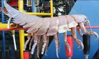 Гігантська ракоподібні призвело вчених в замішання