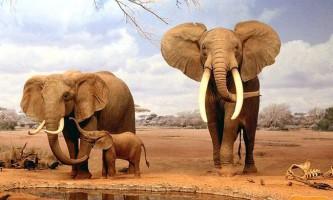 Гіганти землі - слон