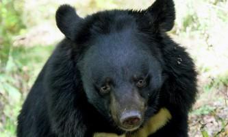 Гімалайський ведмідь напав на вагітну жінку в селищі кіровський