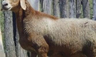 Гиссарськом вівці